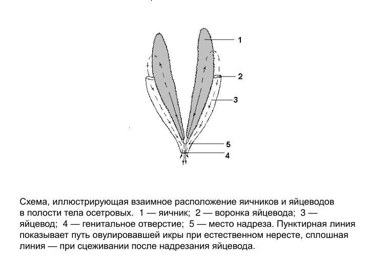 Схема, иллюстрирующая взаимное расположение яичников и яйцеводов