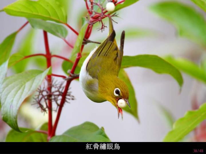 紅脅繡眼鳥