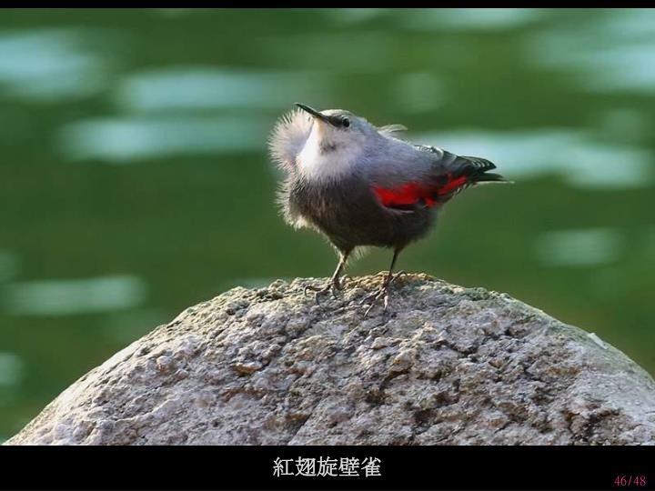 紅翅旋壁雀