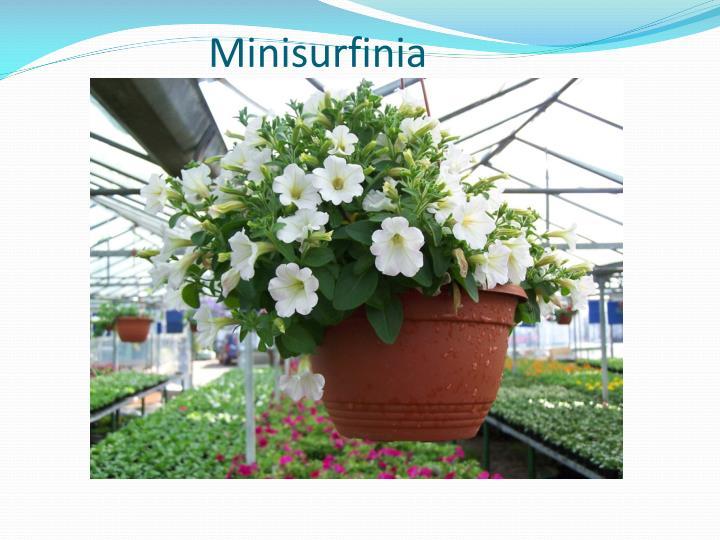 Minisurfinia