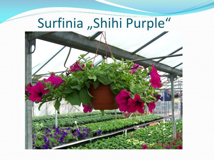 """Surfinia """"Shihi Purple"""""""
