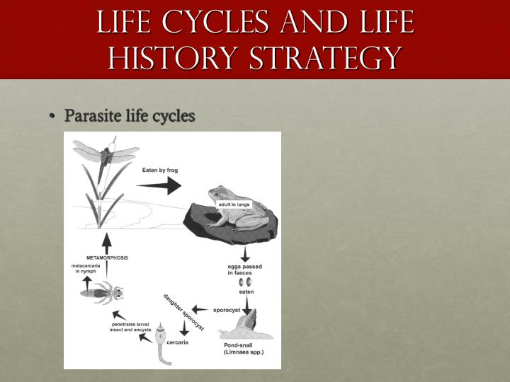 Life Cycles and Life history strategy