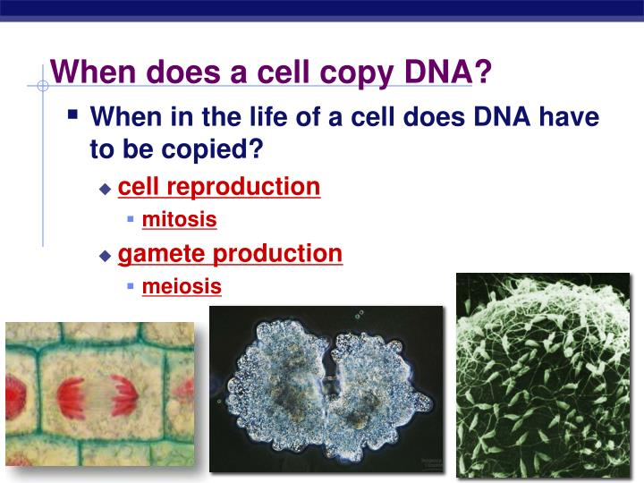 When does a cell copy DNA?