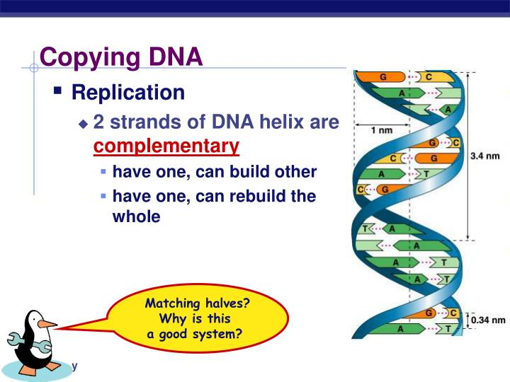 Copying DNA