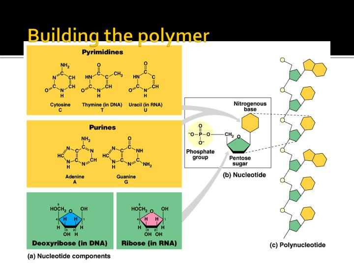 Building the polymer