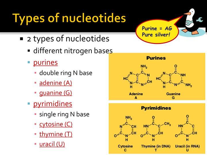 Types of nucleotides
