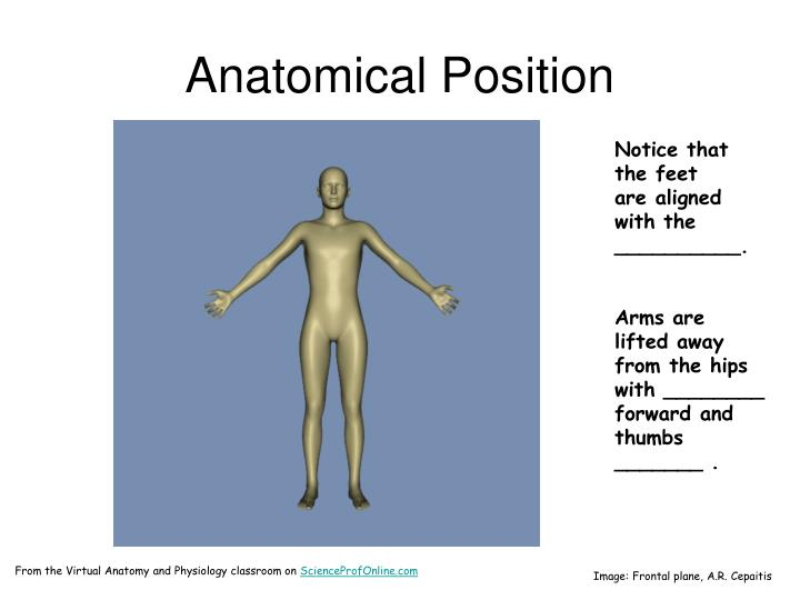 Anatomical Position