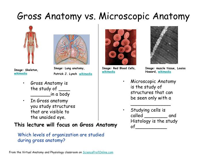 Gross Anatomy vs. Microscopic Anatomy