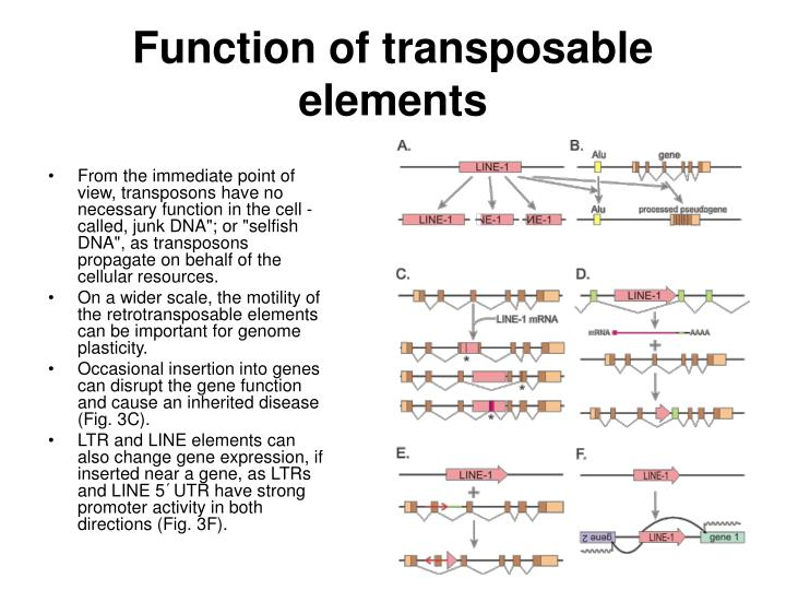 Function of transposable elements