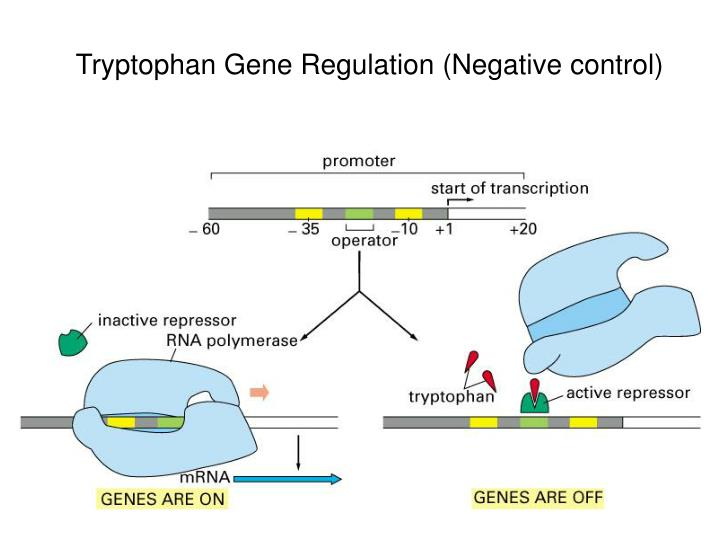 Tryptophan Gene Regulation (Negative control)