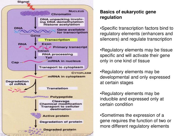 Basics of eukaryotic gene regulation