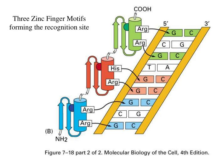 Three Zinc Finger Motifs forming the recognition site