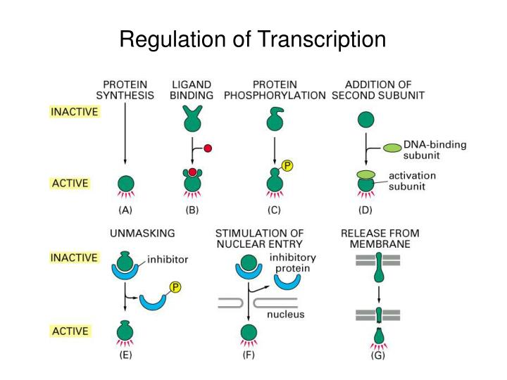 Regulation of Transcription