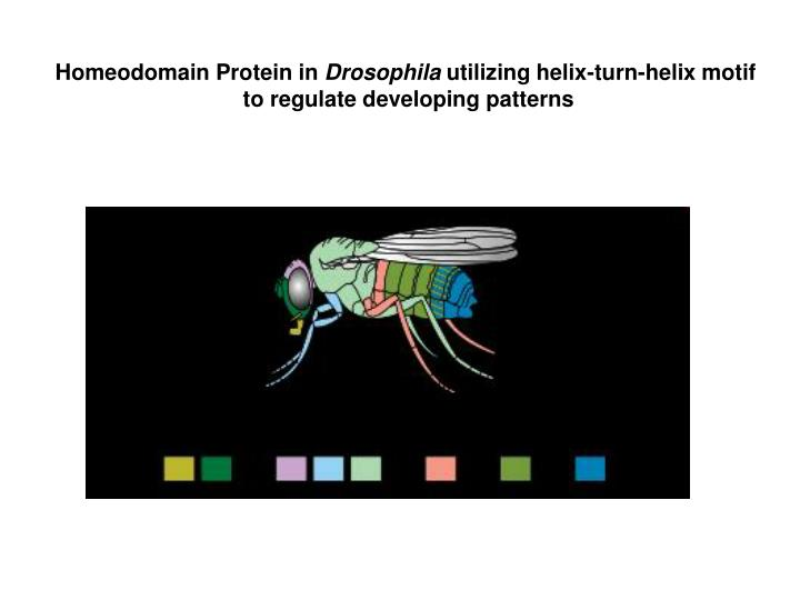 Homeodomain Protein in