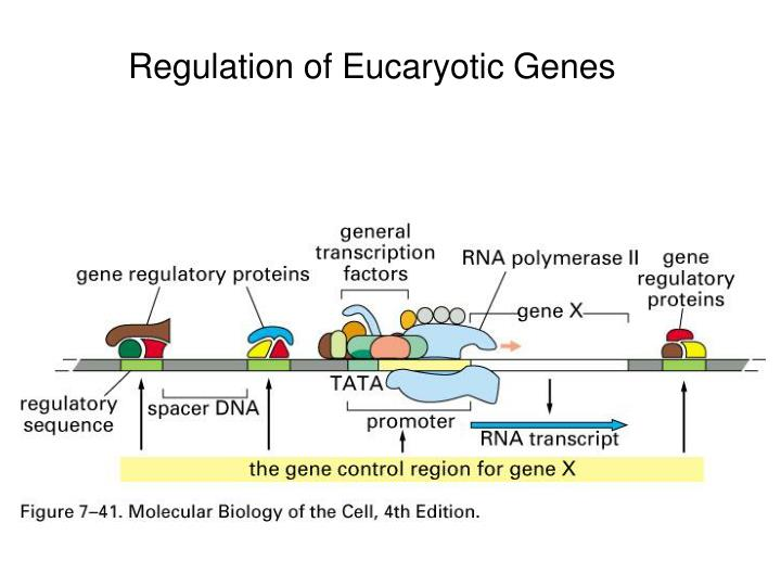 Regulation of Eucaryotic Genes