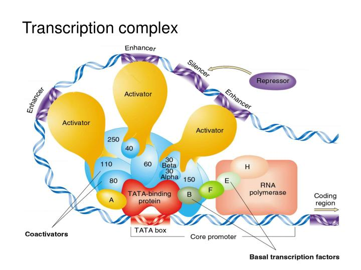 Transcription complex