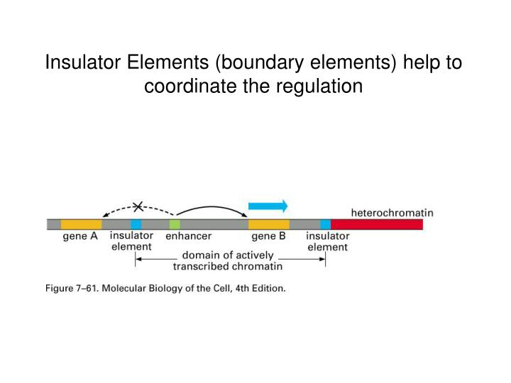 Insulator Elements (boundary elements) help to coordinate the regulation