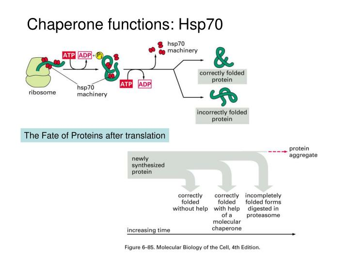 Chaperone functions: Hsp70