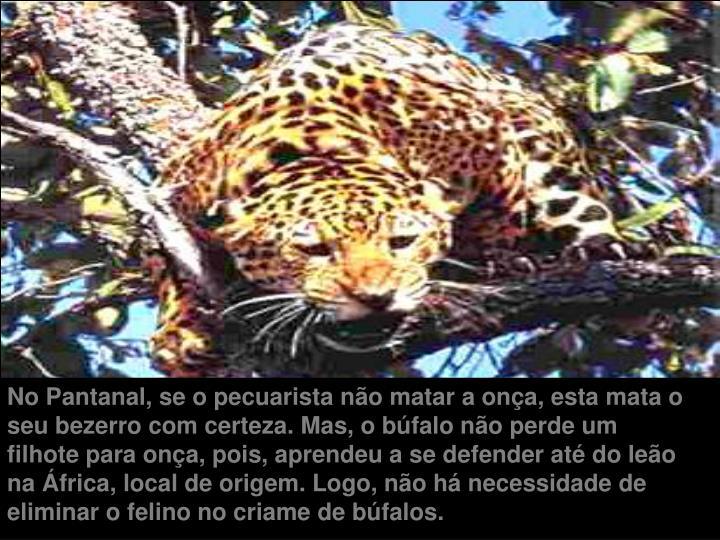 No Pantanal, se o pecuarista não matar a onça, esta mata o seu bezerro com certeza. Mas, o búfalo não perde um