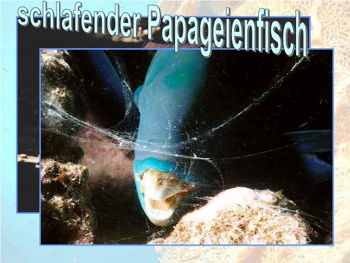 schlafender Papageienfisch