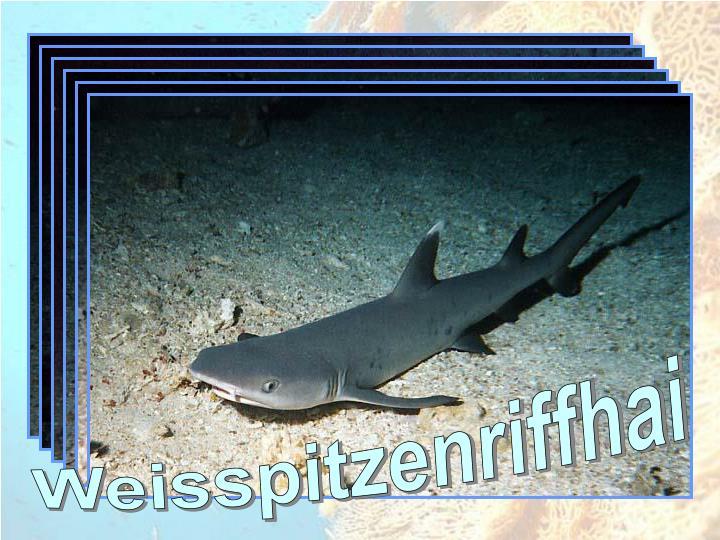 Weisspitzenriffhai
