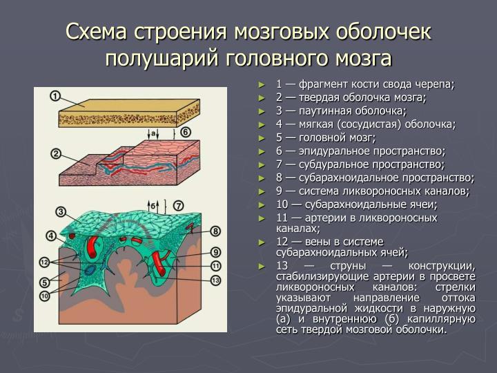 Схема строения мозговых оболочек полушарий головного мозга