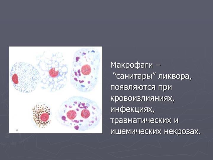Макрофаги –