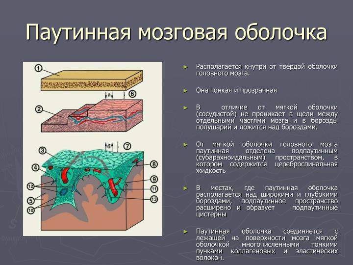 Паутинная мозговая оболочка