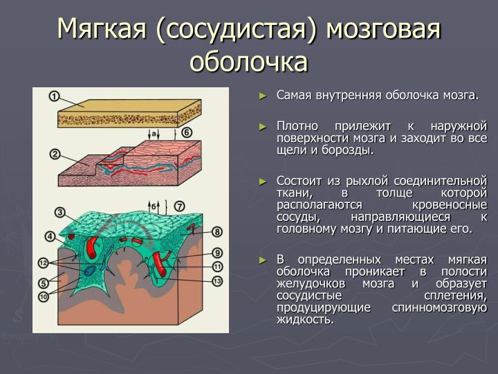 Мягкая (сосудистая) мозговая оболочка