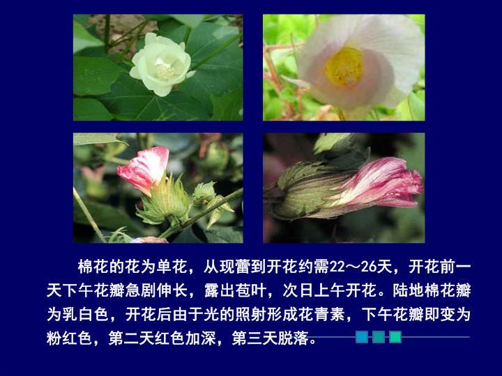 棉花的花为单花,从现蕾到开花约需