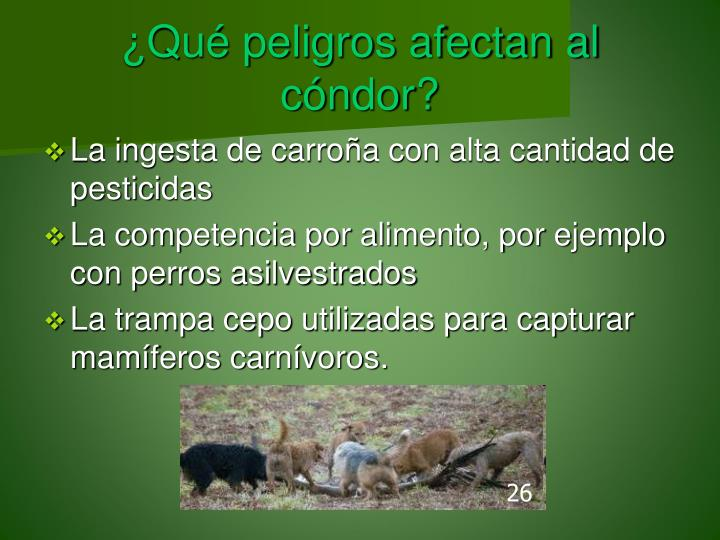 ¿Qué peligros afectan al cóndor?