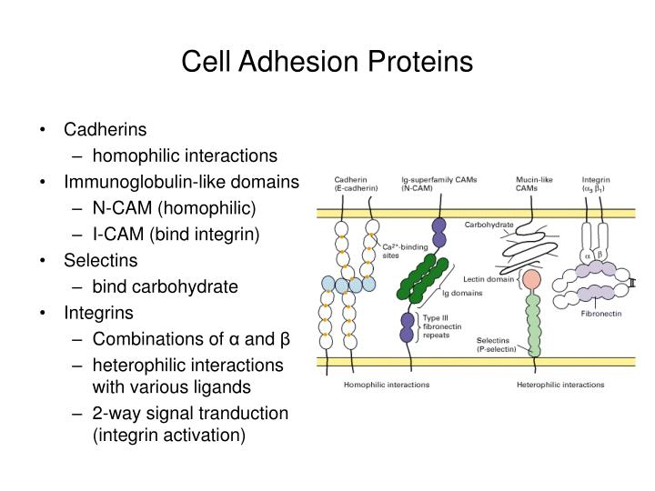 Cell Adhesion Proteins