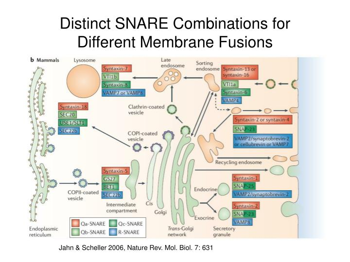 Distinct SNARE Combinations for Different Membrane Fusions