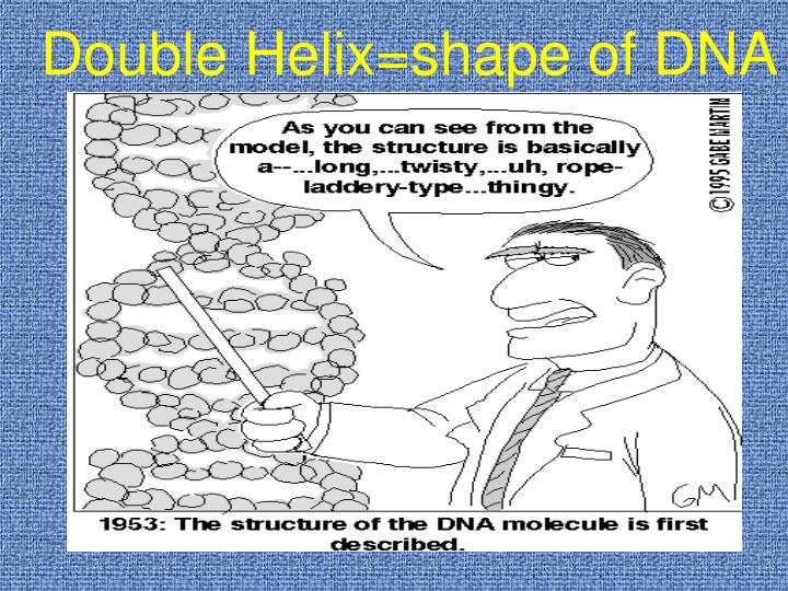 Double Helix=shape of DNA