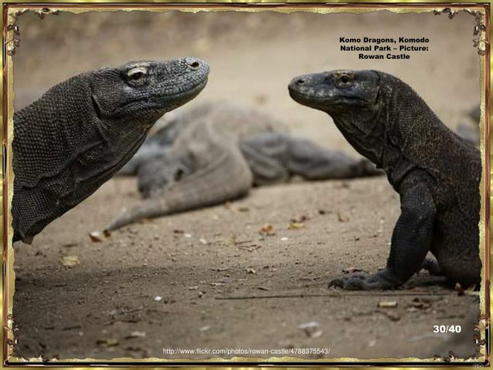 Komo Dragons, Komodo National Park – Picture:  Rowan Castle