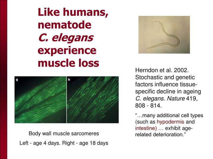 Like humans,  nematode