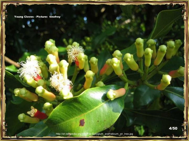 Young Cloves - Picture:  tinofrey