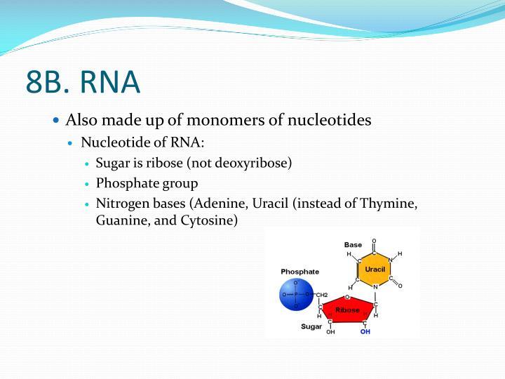 8B. RNA
