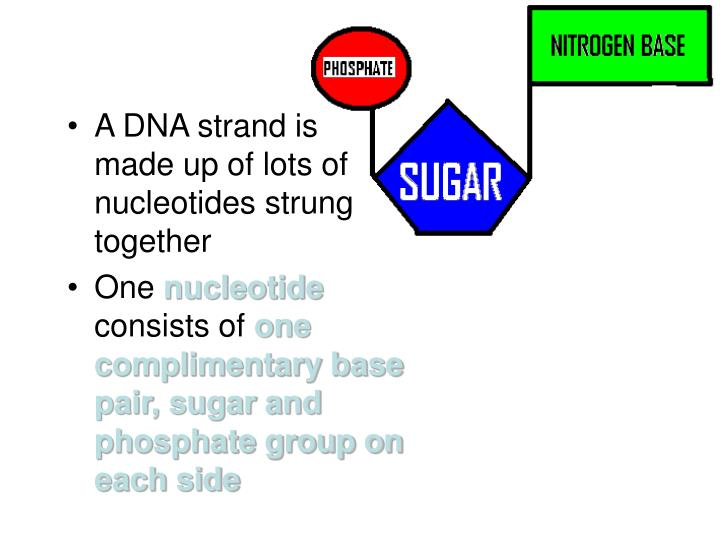 A DNA strand is       made up of lots of nucleotides strung together