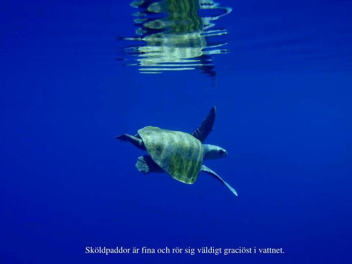 Sköldpaddor är fina och rör sig väldigt graciöst i vattnet.