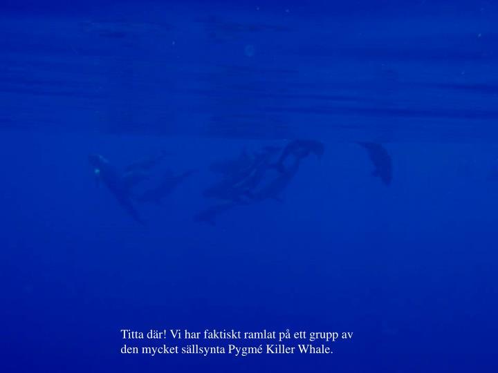 Titta där! Vi har faktiskt ramlat på ett grupp av den mycket sällsynta Pygmé Killer Whale.