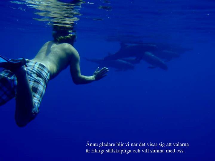 Ännu gladare blir vi när det visar sig att valarna är riktigt sällskapliga och vill simma med oss.