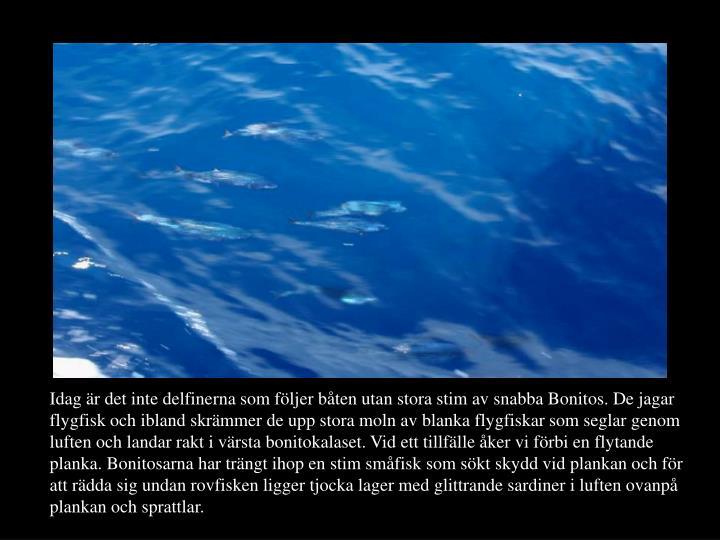 Idag är det inte delfinerna som följer båten utan stora stim av snabba Bonitos. De jagar flygfisk och ibland skrämmer de upp stora moln av blanka flygfiskar som seglar genom luften och landar rakt i värsta bonitokalaset. Vid ett tillfälle åker vi förbi en flytande planka. Bonitosarna har trängt ihop en stim småfisk som sökt skydd vid plankan och för att rädda sig undan rovfisken ligger tjocka lager med glittrande sardiner i luften ovanpå plankan och sprattlar.