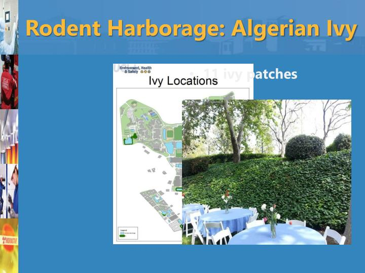 Rodent Harborage: Algerian Ivy