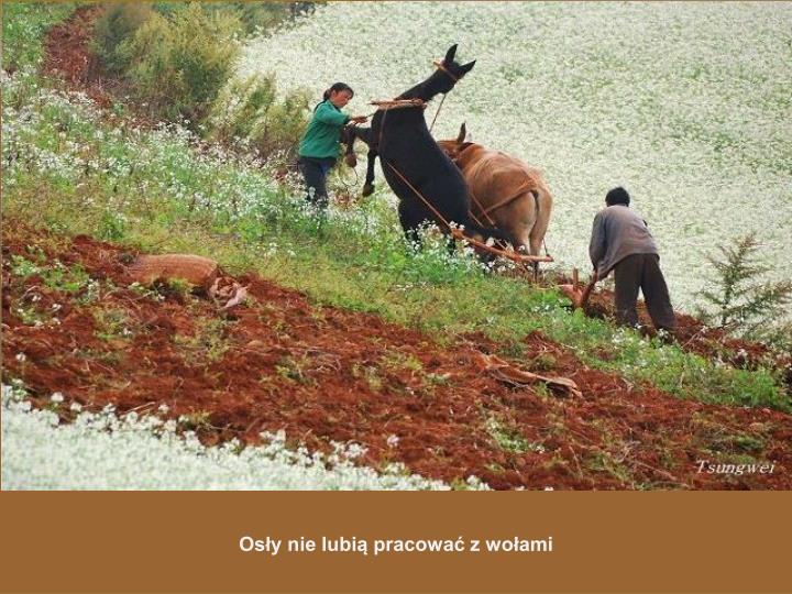 Osły nie lubią pracować z wołami