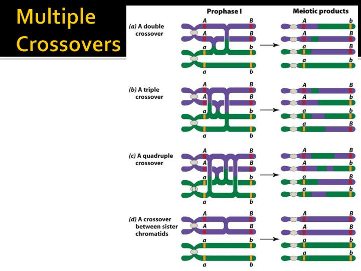 Multiple Crossovers