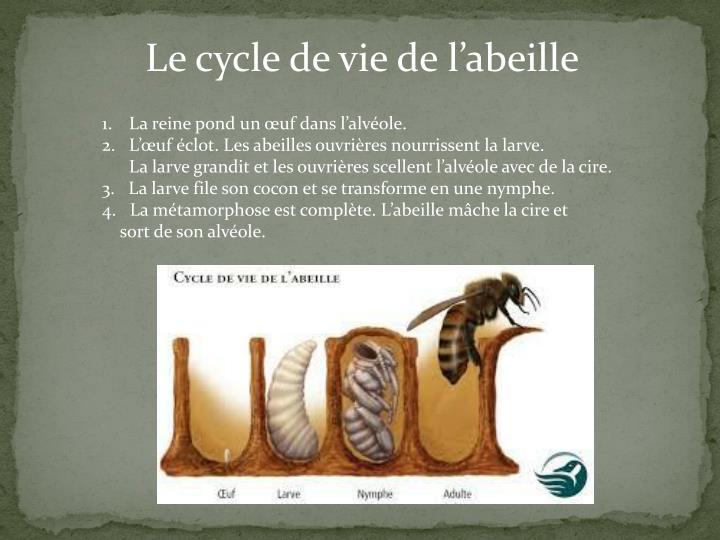 Le cycle de vie de l'abeille