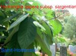 hydrangea aspera subsp sargentiana