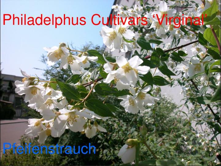 Philadelphus Cultivars