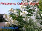 philadelphus cultivars virginal